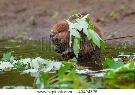 North American Beaver (Castor canadensis) Kit Stands Under Leaf - captive animal