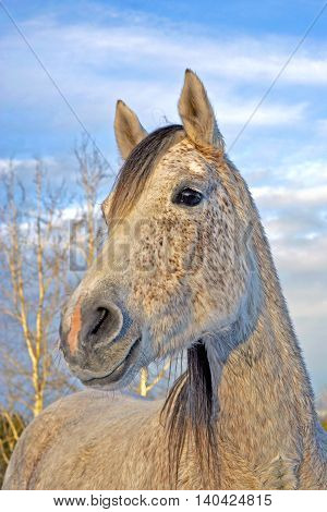 Grey Arabian Mare in winter portrait closeup