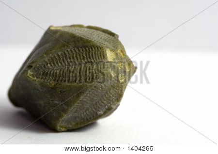 Fossil Invertebrate