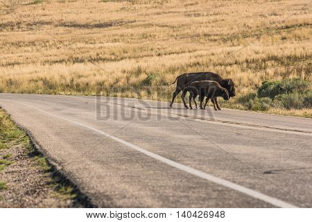 A female bison with her calf cross the road while grazing near Great Salt Lake in Utah, USA.