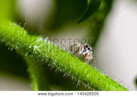 Macro Of A Jumping Spider In The Garden