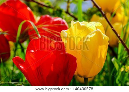 Blossom Tulips In The Garden, Spring Time