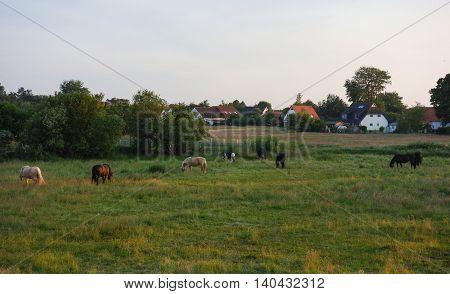Beautiful landscape: Horses on Hiddensee Island Germany