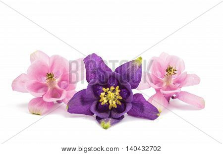purple aquilegia flower isolated on white background