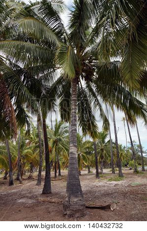 Coconut trees in Kapuaiwa Coconut Groove on Molokai Hawaii. It is an ancient Hawaiian coconut grove planted in the 1860s during the reign of King Kamehameha V. With hundreds of coconut palm trees this is one of Molokai's most recognizable natural landmark