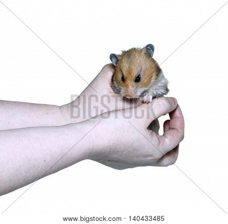 Brown Syrian hamster in hand isolated on white background