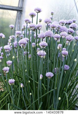 Blooming chives onions in a greenhouse at the spring