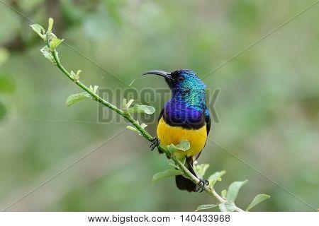 The variable sunbird (or yellow-bellied sunbird), Cinnyris venustus