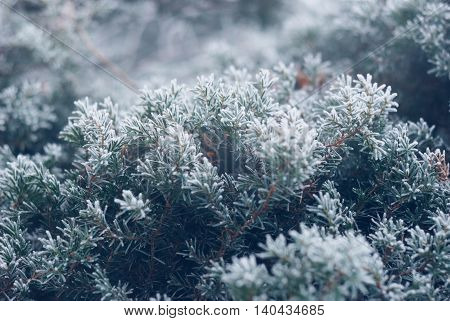 Christmas, winter background with frosty pine tree. Beautiful seasonal background
