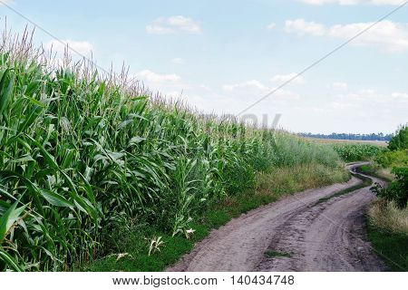 Landscape. Maturing maize plantations near the road