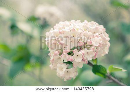 Toned image of the very fragrant viburnum shrub in full bloom.