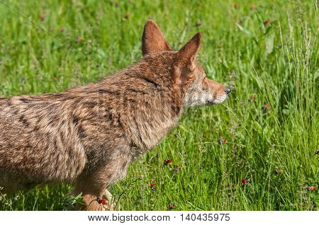 Coyote (Canis latrans) Profile Looking Right - captive animal
