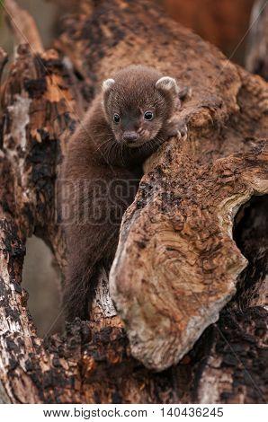 Fisher (Martes pennanti) Kit Clings to Log - captive animal