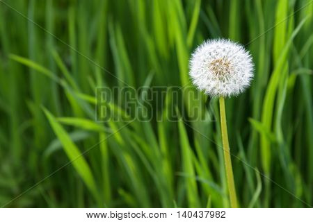 Closeup of dandelion in full seed, growing in tall grass