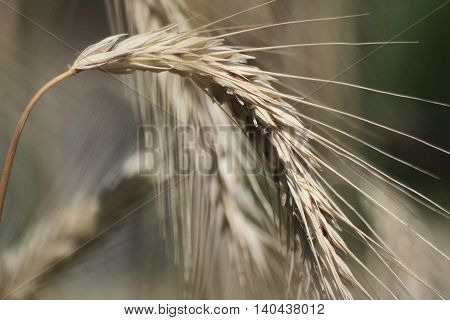 Full ear bent under the weight of rye grains