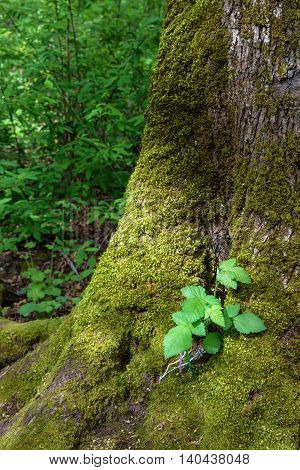 New blackberry plant growing out of a moss covered tree