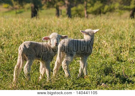 closeup of two newborn lambs standing on meadow