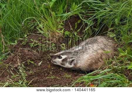 North American Badger (Taxidea taxus) Lunges Left - captive animal