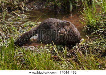 Adult American Mink (Neovison vison) in Marshy Area - captive animal