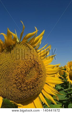 Yellow sunflower on a background of blue sky