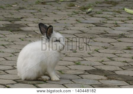 The lovely white rabbit black ears standing on street