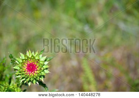 Spiny Prickly Musk Thistle Flower Plant with Shallow Focus