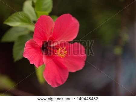 Red hibiscus flower. On the dark nature background