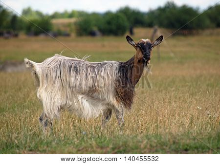 The long-haired domestic goat on summer meadow