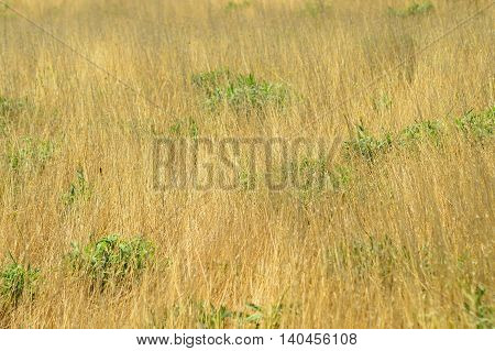 green grass and dry grass as background