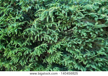 Branches and needles of fir tree. Natural green background.