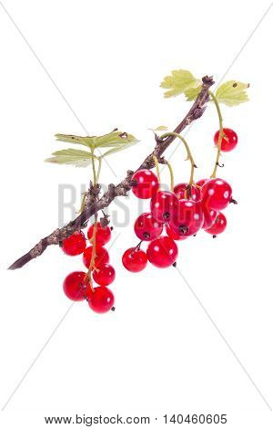 Ripe berries of garden plants red currant isolated on white background