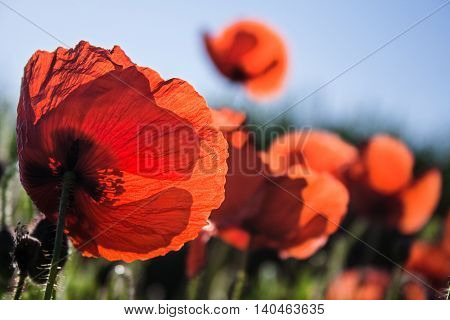 Springtime. Backlit poppies in a field. Apulia, Italy.