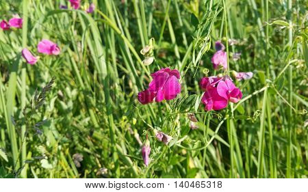 Beautiful pink sweet peas flower growing wild