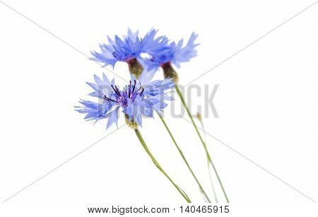 knapweed  blue flower on a white background