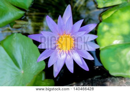 Lotus flower in purple violet color with green leaves in nature water pond