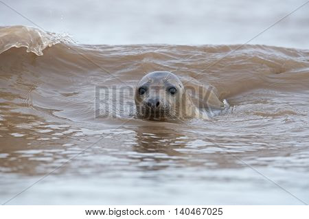 Atlantic Grey Seal (Halichoerus Grypus) swimming in the North Sea