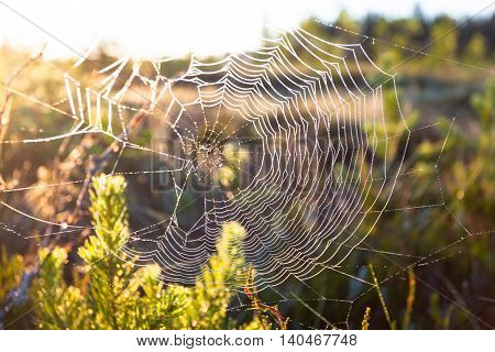 Spider web with drops of water at sunrise in the field early morning
