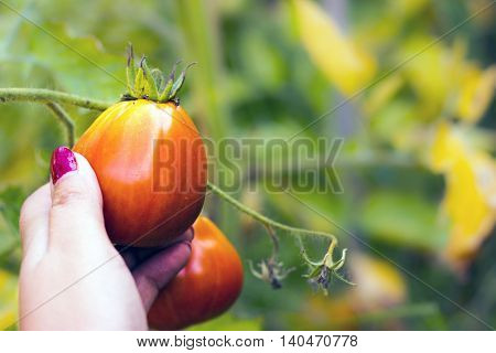 Women hand picking Tomatoes in the garden