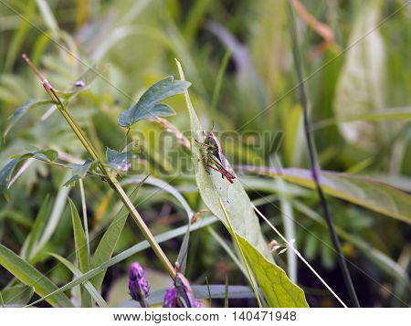 The locust is going to jump with a huge green leaf (Yakutia)