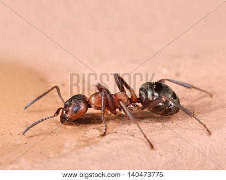 Single red ant searching food close-up macro