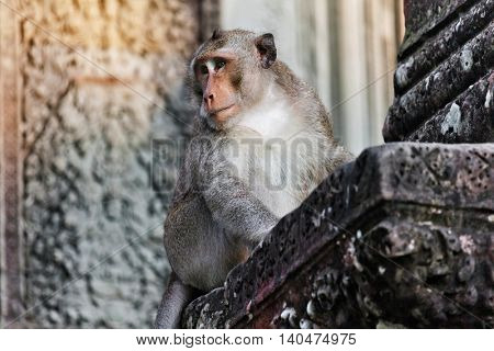 Monkey portrait in angkor wat temple