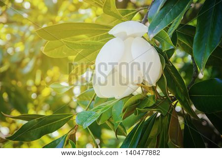 White Magnolia flower on tree with green leaves on soft background of foliage in sunny day