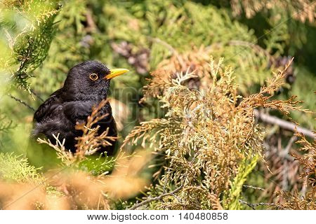 Common Blackbird in the wild in the forest