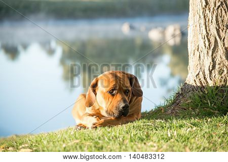 A young male boerbull dog lies under a Weeping Willow tree by the river.
