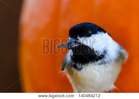 Black-capped chickadee in front of a pumpkin with a sunflower seed in mouth.