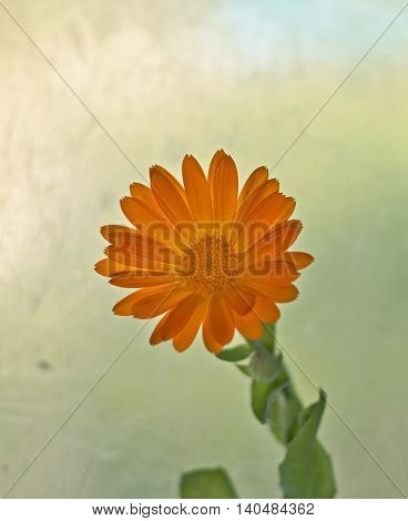 Orange beautiful flower, with green leaflets. A flower similar to the sun.