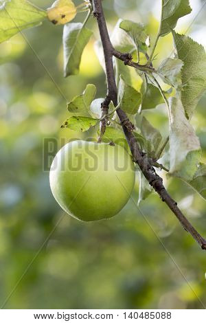 Unripe apples on a branch early in the morning