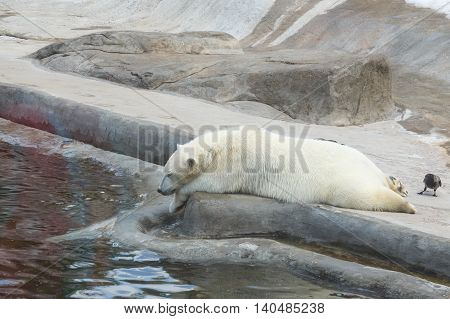 White Polar Bear lying near the water in the paddock inf the Zoo