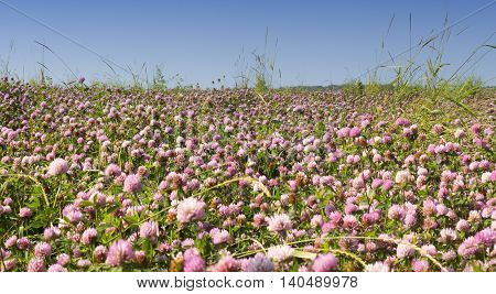The clover field in Sunny summer day