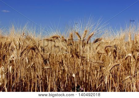 a cornfield with a blue sky in summer